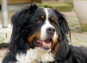 CBD-olie voor je hond Prive foto Bernersenner LYCOS CBDenzo CBD OLIE