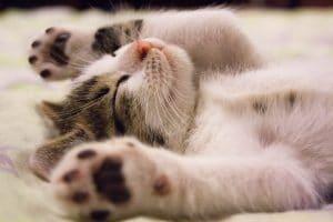 CBD voor (huis) dieren kitten slaapt ontspannen cbd olie