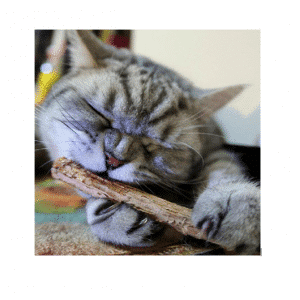 Natuurlijke Kattenkruid Stokjes Grijze kat kattenkruidstokje
